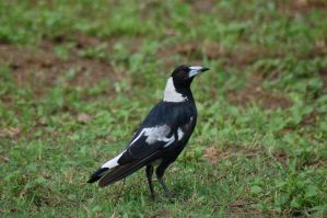 Magpie stock by Chunga-Stock
