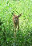 A Fawn in Tall Grass 4a by Windthin