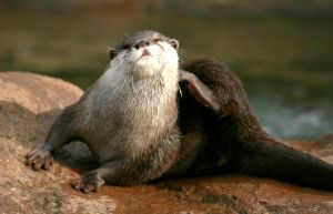 Otter. by burntintheblast
