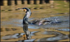 Swimming Cormorant by Somebody-Somewhere