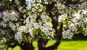 Blooms of a Pear Tree by JessicaDobbs