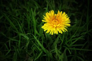 flower of the sun by chirilas