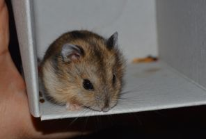 Meet the hamster UPDATE OMG by Angi-Shy