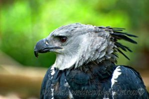 Harpy Eagle by shadowleoparddreams