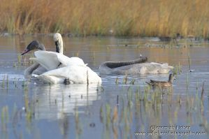Swans by JWFisher