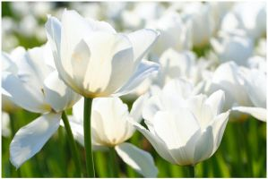 White Tulips by xuvi