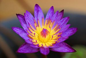 Water lily flower by a6-k