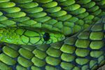 Western Green Mamba by Enkased