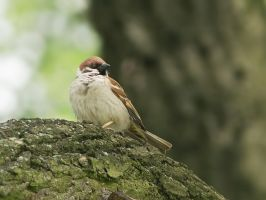 Watchful sparrow by starykocur