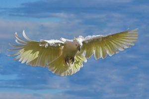 Sulphur Crested Cockatoo 124 by chezem