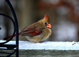 Female Cardinal by AmbitiousArtisan