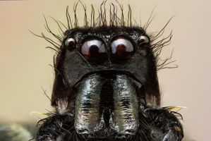 Jumping Spider III by evirgen2008