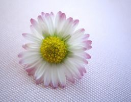 pink daisy close-up by Kira-R