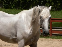 Andalusian Stallion - 4 by ElaineSeleneStock