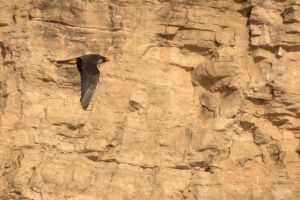 Peregrine Falcon by amzimme