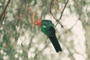 King Parrot by apparate
