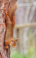 Red Squirrel III by FreyaPhotos