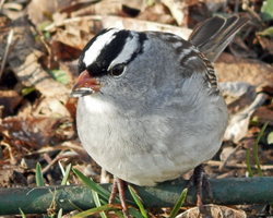 White Crowned Sparrow Strikes Again by CRGPhotography