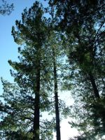 Pine by Immortelle