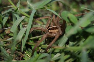 Spider in the Grass by Shadow-D-Keeper