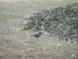 The Orange Breasted Robin by Flaherty56