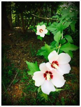Rose of Sharon 2 by WVUARTIST