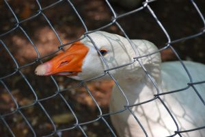 Waccatee Zoo Goose 2 by MrsChibi