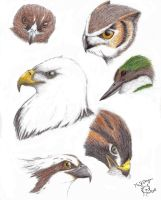 Birds of prey study by 768dragon
