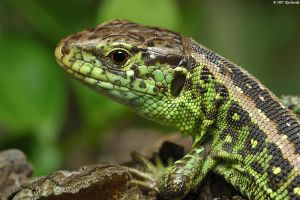 Lacerta agilis V by Dark-Raptor