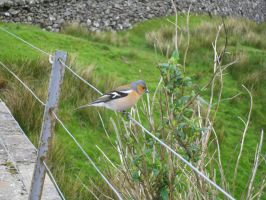 Chaffinch by TheBuggiest