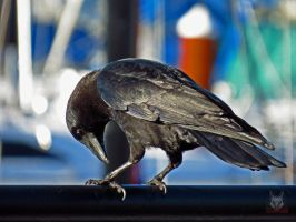 Checking Out Crows Feet by wolfwings1