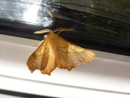 Dusky Thorn Moth at Front Door by SrTw