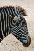 Zebra 01 by otas32