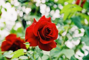 Red Rose by adanielescu