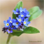 picture of blue flowers by sonafoitova