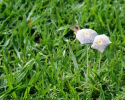 Mushrooms in the lawn by AfricanObserver