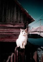 white cat by Cleriee