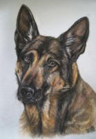 German shepherd in pastel by Jniq