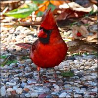 Northern Cardinal by FallOut99