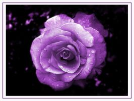 Purple Spirit Passion Rose by GramMoo