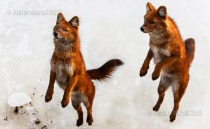 Red Dholes Can Jump by PictureByPali