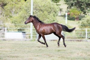 Dn black pony canter side view one leg on floor by Chunga-Stock