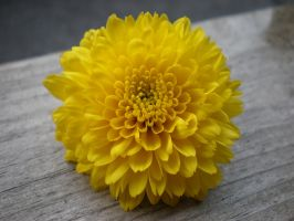 Chrysanthemum by MoonlightWhite