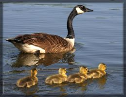 Canada Geese 40D0004644 by Cristian-M