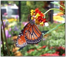 Monarch Butterfly by Kerry1983