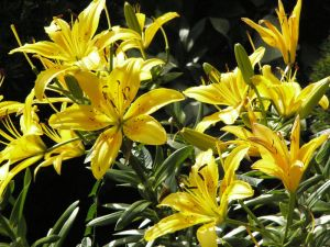 YellowAsianLilies2 P1120242 by NemoNameless