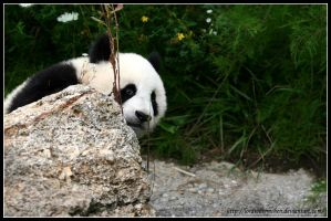 Fu Long: Peek-a-boo by AF--Photography