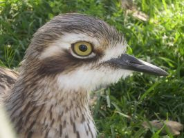 Bush Thick-knee II by Twister4evaSTOCK