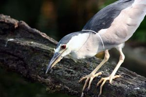 black crowned night heron by lynjupiter