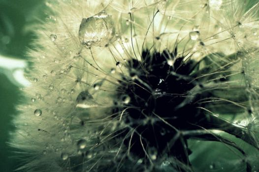 another dandelion by RothermRebeka